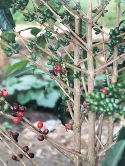 Cafeto. Planta del café